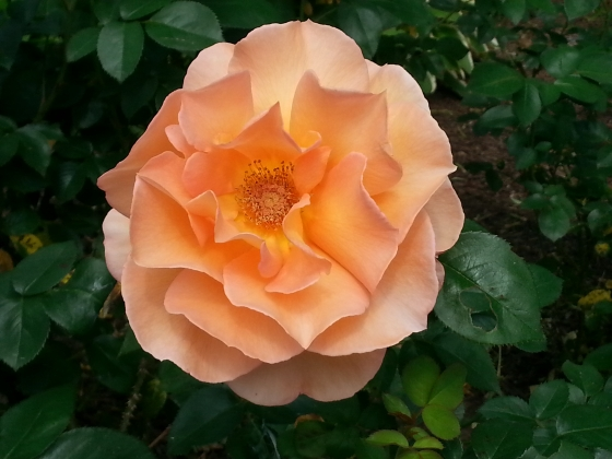 Rose G Fav
