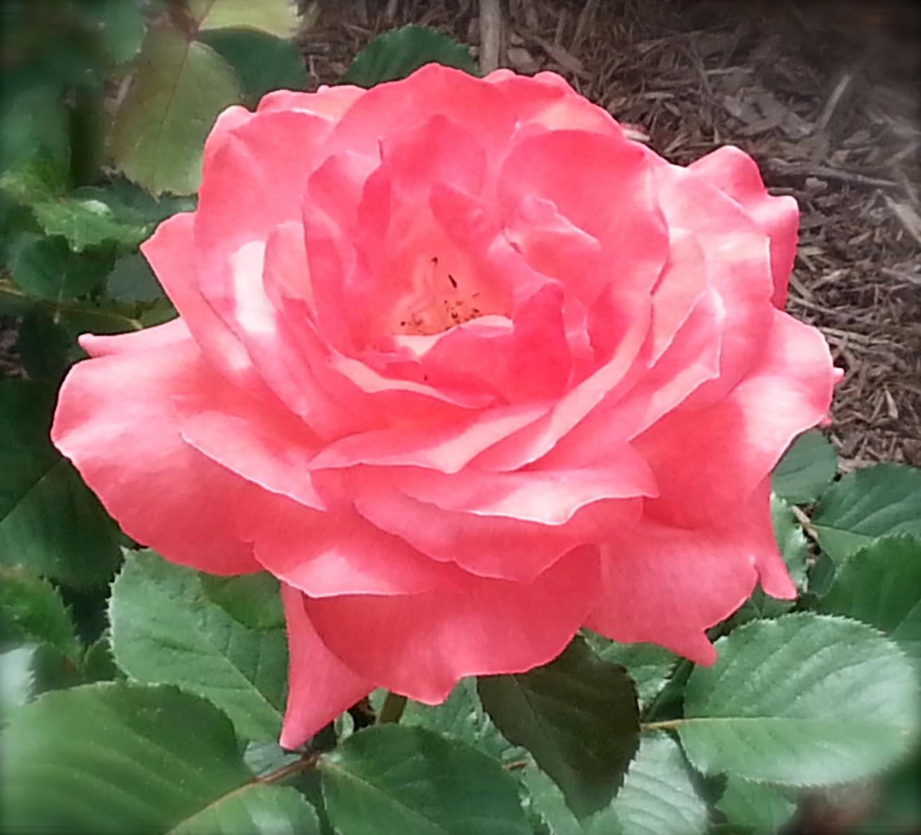 Rose OLQA-2