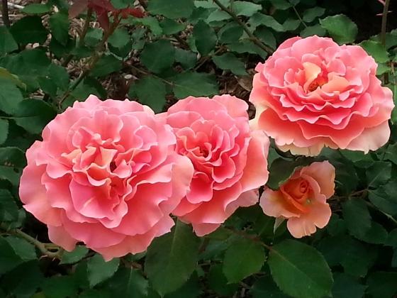 Roses - Family
