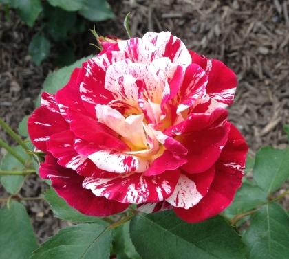 Roses Firecracker