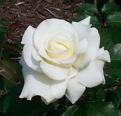 Roses White Crest