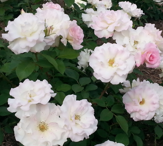 Roses White with Pink Bud