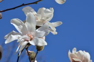 Magnolia - 1