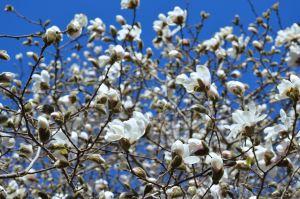 Magnolia - 2
