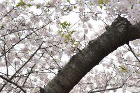 cherry blossom 12
