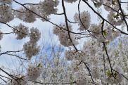 cherry blossom 13