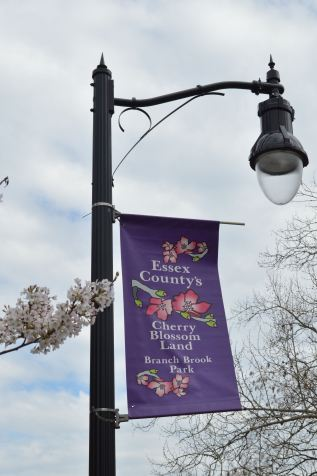 cherry blossom 17 - sign