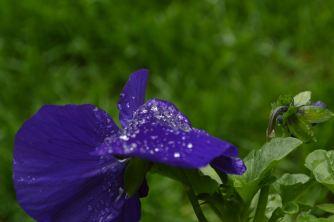 Water on flower 10